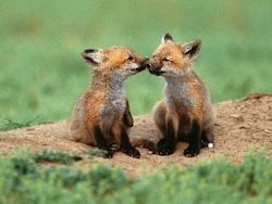 Fox Cubs, Baby Animal Zoo