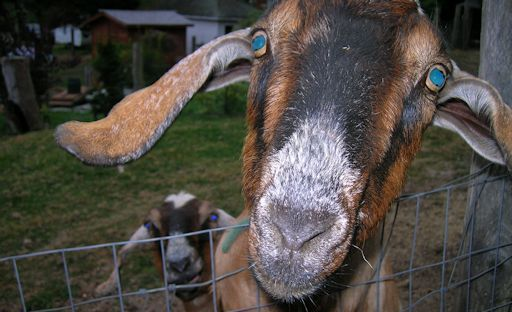 Joanne's Goats - photo by Brad Snowder