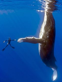 If you are swallowed by a whale, how can you resist standing up through the blow hole like the sun roof of a limo?