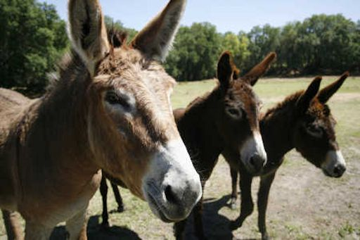 Long Ear Donkey Rescue, a non-profit organization dedicated to the rescue, rehabilitation, and adoption of donkeys and mules in need.